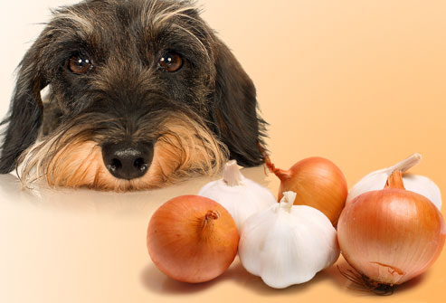 Garlic has some benefits for Dog but harmful if fed on regular basis.