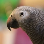 African Gray Photo Gallery