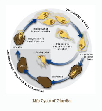 Life Cycle of Giardia in Dogs