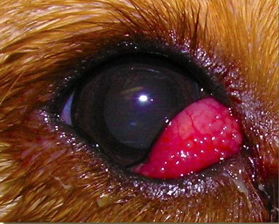 Глаза кота слезятся и покраснели, веки опухли один или оба глаза находятся в полузакрытом