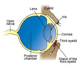 Third Eyelid in Cherry Eye